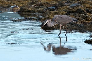 Grand Heron of the Great Marsh - Great Blue Heron copyright Kim Smith - 16 copy
