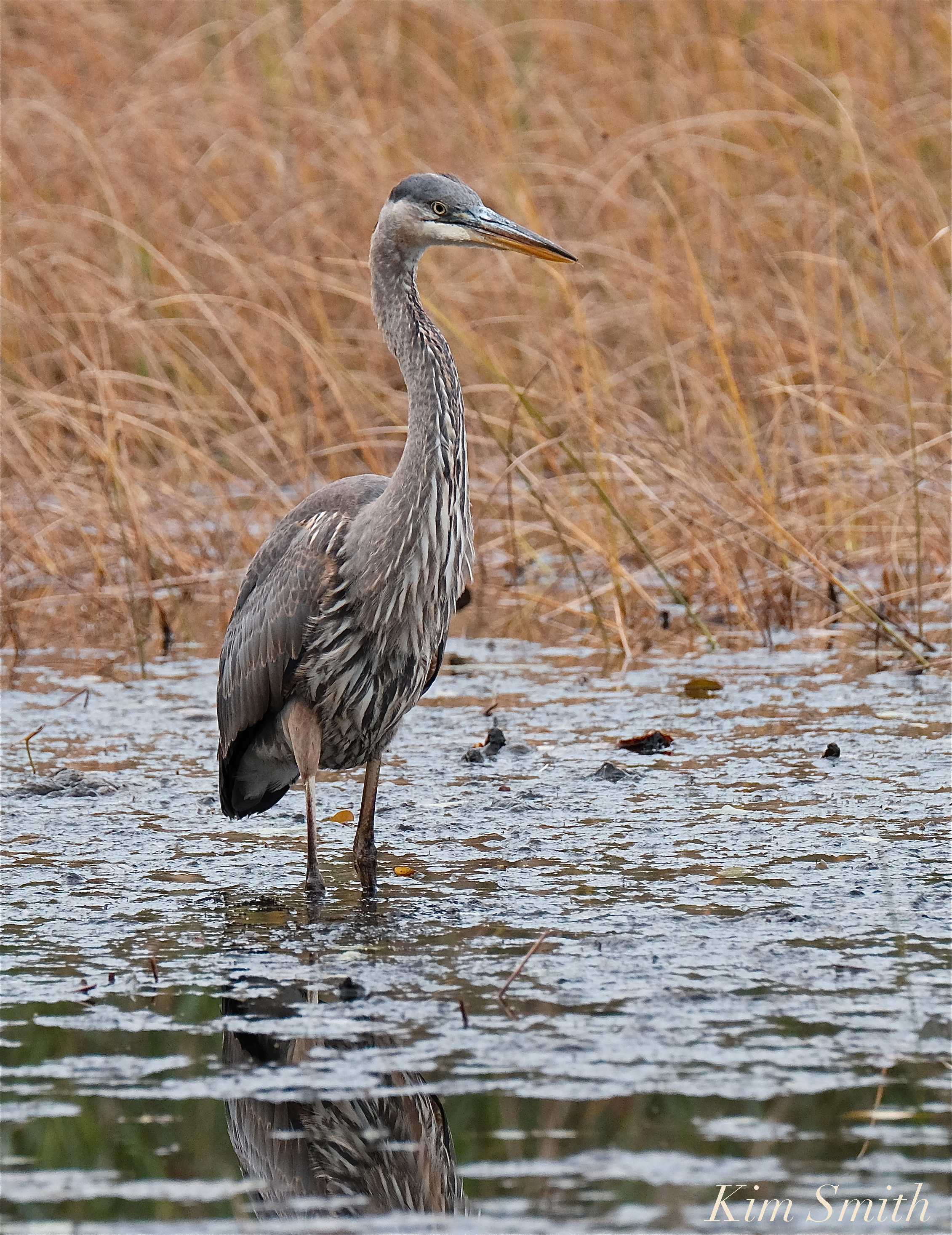 grand heron of the great marsh  cape ann u2019s great blue