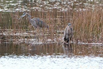 Grand Heron of the Great Marsh - Great Blue Heron copyright Kim Smith - 25