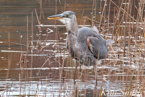 Grand Heron of the Great Marsh - Great Blue Heron copyright Kim Smith - 26