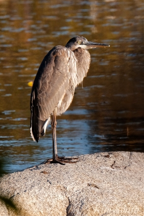 Grand Heron of the Great Marsh - Great Blue Heron copyright Kim Smith - 29