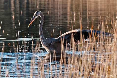 Grand Heron of the Great Marsh - Great Blue Heron copyright Kim Smith - 40 copy