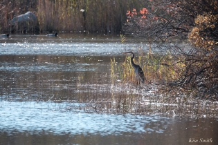 Grand Heron of the Great Marsh - Great Blue Heron copyright Kim Smith - 49