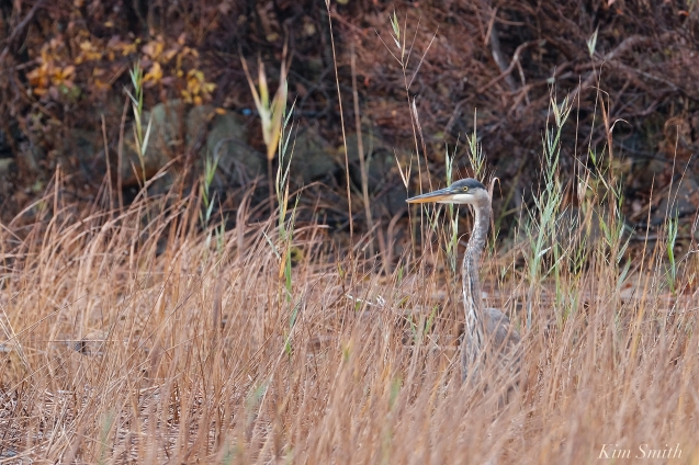 Grand Heron of the Great Marsh - Great Blue Heron copyright Kim Smith - 50