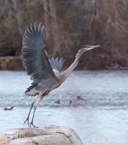 Great Blue Heron Flying Gloucester Massachusetts -1 copyright Kim Smith