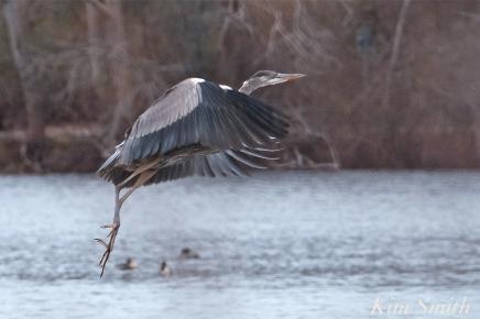 Great Blue Heron Flying Gloucester Massachusetts -2 copyright Kim Smith