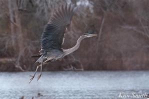 Great Blue Heron Flying Gloucester Massachusetts copyright Kim Smith