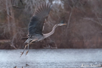 Great Blue Heron Flying Gloucester Massachusetts copyright Kim Smith