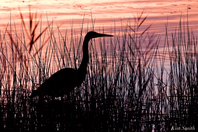 Great Blue Heron Silhouette copyright Kim Smith