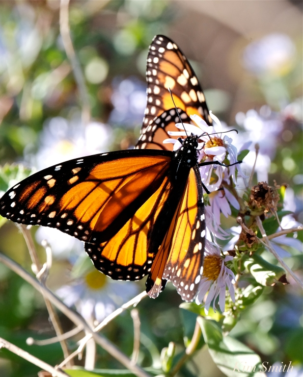October Monarch Butterflies copyright Kim Smith - 02