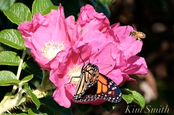 October Monarch Butterfly and Bee Rosa rugosa copyright Kim Smith - 08