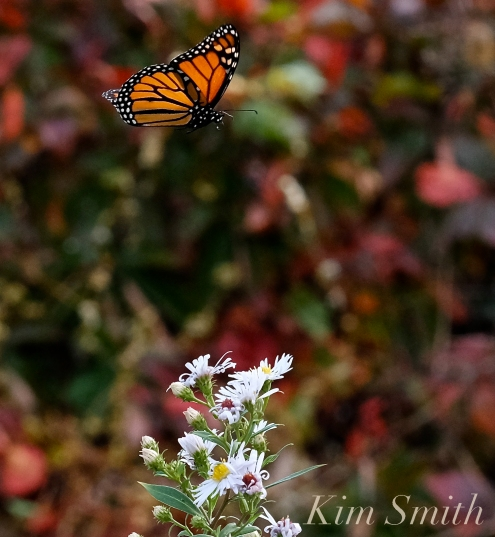 October Monarch Butterfly copyright Kim Smith