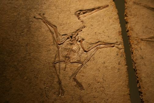 Pterodactylus_kochi_in_Wien