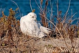 Snowy Owl Male Massachusetts -2 copyright Kim Smith