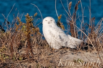 Snowy Owl Male Massachusetts -4 copyright Kim Smith