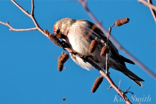 Common Redpoll Eating Seeds Massachusetts Carduelis flammea -2 copyright Kim Smith