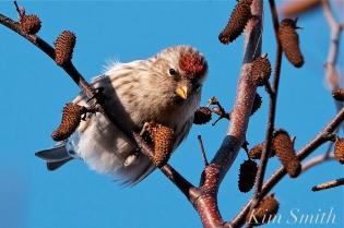 Common Redpoll Eating Seeds Massachusetts Carduelis flammea -4 copyright Kim Smith