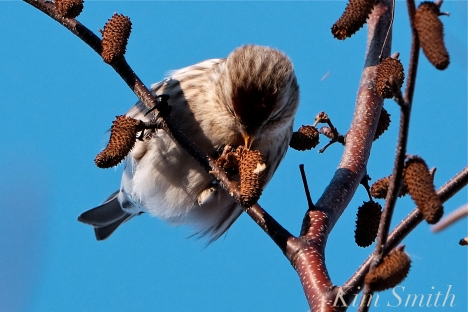 Common Redpoll Eating Seeds Massachusetts Carduelis flammea -5 copyright Kim Smith