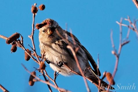 Common Redpoll Eating Seeds Massachusetts Carduelis flammea copyright Kim Smith