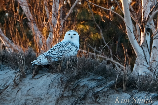 Snowy Owl Bubo scandiacus December -1 copyright Kim Smith