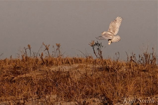 Snowy Owl Bubo scandiacus December -13 copyright Kim Smith