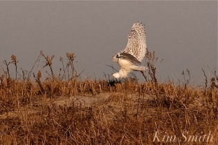Snowy Owl Bubo scandiacus December -16 copyright Kim Smith