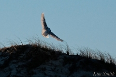 Snowy Owl Bubo scandiacus December -18 copyright Kim Smith