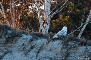 Snowy Owl Bubo scandiacus December -2 copyright Kim Smith
