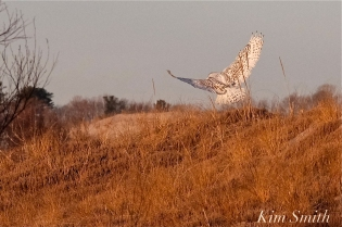 Snowy Owl Bubo scandiacus December -3 copyright Kim Smith