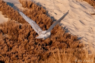 Snowy Owl Bubo scandiacus December -5 copyright Kim Smith