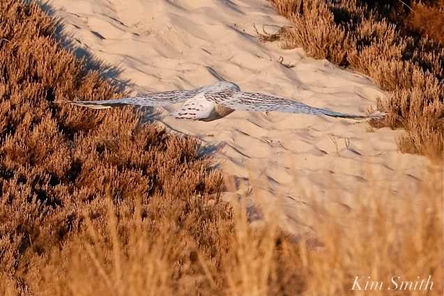 Snowy Owl Bubo scandiacus December -6 copyright Kim Smith