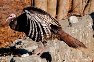 Wild Turkeys Massachusetts-3 copyright Kim Smith