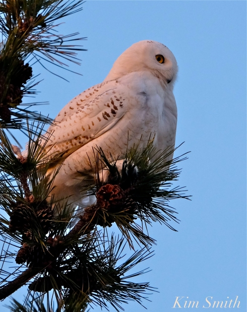 Snowy Owl Bubo scandiacus Pine Tree Massachusetts -2 copyright Kim Smith