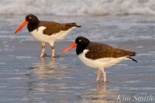 american-oyster-catchers-copyright-kim-smith