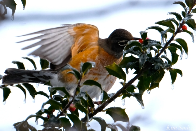 american robin gloucester massachusetts -1 turdus migratorius 1-21-2019 copyright kim smith