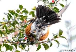 american robin gloucester massachusetts -12 turdus migratorius 1-21-2019 copyright kim smith