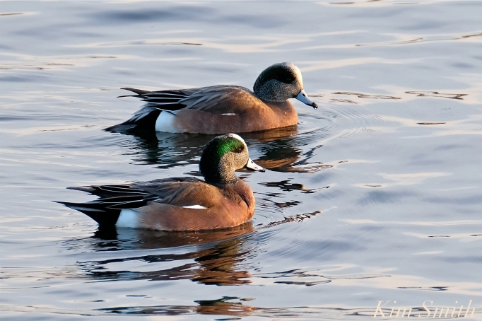 american wigeon male gloucester massachusetts copyright kim smith - 01
