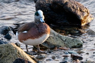 american wigeon male gloucester massachusetts copyright kim smith - 03 jpg
