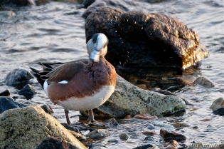 american wigeon male gloucester massachusetts copyright kim smith - 04
