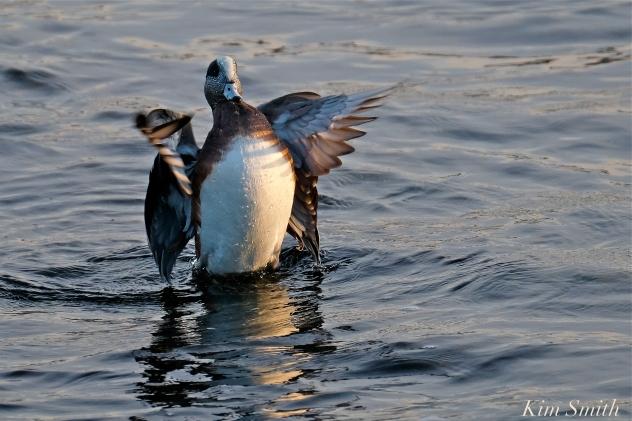 american wigeon male gloucester massachusetts copyright kim smith - 06