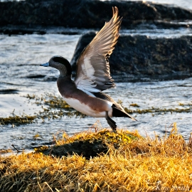 american wigeon male gloucester massachusetts copyright kim smith - 11