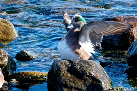 american wigeon male gloucester massachusetts copyright kim smith - 15