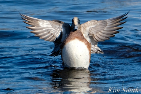 american wigeon male gloucester massachusetts copyright kim smith - 17