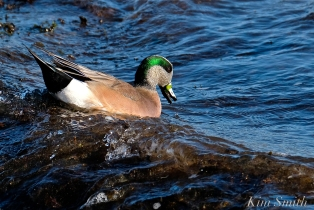american wigeon male gloucester massachusetts copyright kim smith - 21