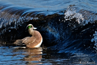 american wigeon male gloucester massachusetts copyright kim smith - 22