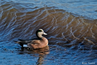 american wigeon male gloucester massachusetts copyright kim smith - 24