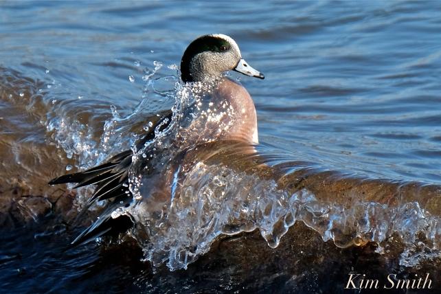 american wigeon male gloucester massachusetts copyright kim smith - 26