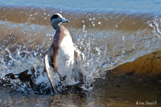 american wigeon male gloucester massachusetts copyright kim smith - 32