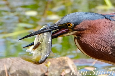 green-heron-butorides-virescens-gloucester-ma-14-copyright-kim-smith