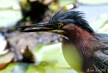 green-heron-butorides-virescens-gloucester-ma-7-copyright-kim-smith